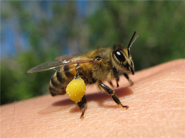 Народні засоби від укусу бджоли перевірено часом