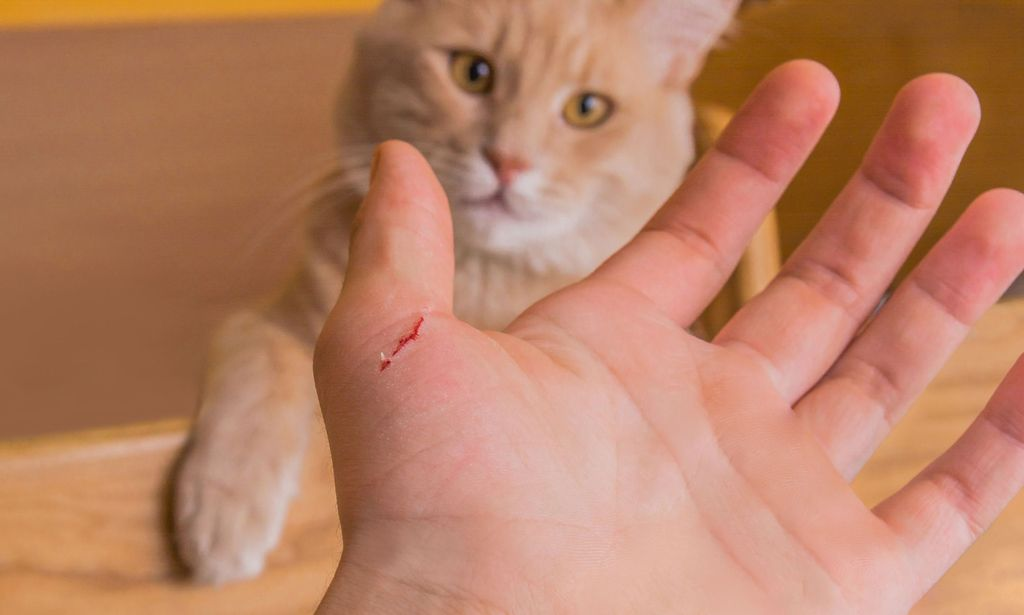 Подряпала кішка – чим і як обробити шкіру правильно?